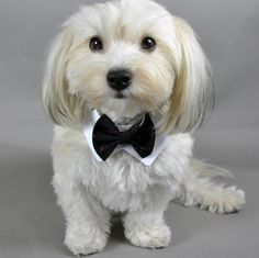 42 Best Puppies In Bowties Images Bowties Bows Cutest Animals
