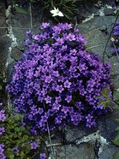 Campanula - Light blue flowers from spring to summer on miniature plants. Bluestone Perennials - Family owned and run with over 35 years of experience Flower Garden, Flower Garden Plans, Plants, Campanula Portenschlagiana, Garden Shrubs, Rock Garden Plants, Perennials, Landscaping With Rocks, Shrubs