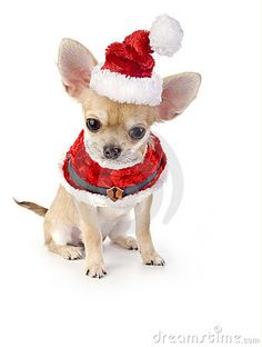 Cute Chihuahua puppy with Santa costume on white