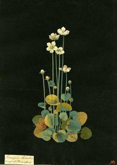 "Flora Delanica: Art and Botany in Mary Delany's ""paper mosaics"" Botanical Drawings, Botanical Prints, Vintage Botanical Illustration, Plant Illustration, Arte Floral, Flower Art, Paper Art, Illustrations, Watercolor"