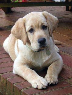 oh my yellow! labrador retriever puppy