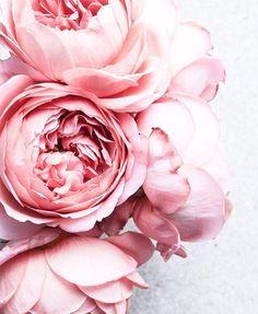 Layered beauty #peonyrose