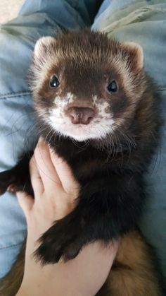 Ferrets Care, Baby Ferrets, Funny Ferrets, Pet Ferret, Funny Animal Memes, Funny Animals, Cute Animals, Animals And Pets, Baby Animals