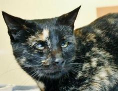 Lavender - 384035 is an adoptable Tortoiseshell Cat in McKinney, TX. Lavender is a little scared and shy at the shelter but is very sweet. She gets more comfortable once she is being held and loved. A...