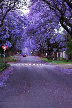 Jacaranda Trees, Pretoria | South Africa (by Alfy Digital Photos) | THE UT.LAB | Places to Go *