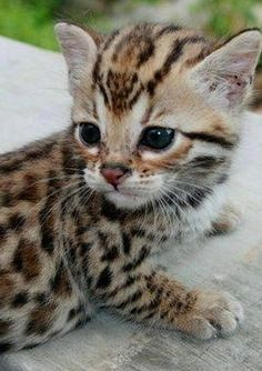 Bengal kitty (=^_^=)