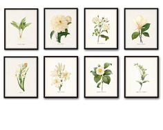"Botanical Print Set Redoute 8 Giclee Fine Art Prints - Unframed. This print set features 8 antique white botanical illustrations by the renowned Pierre Redoute. Each image has been digitally restored, enhanced and added to a light neutral background. • Free Shipping • Money Back Guarantee • Sizes Available: 5x7, 8x10, 11x14 • Trimmed to size for easy framing. • Sized to fit ""off the shelf"" standard retail frames & mats. • Printed on Professional Archival Paper using Archival Inks • Frames..."