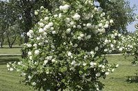 How to Root a Snowball Bush | eHow
