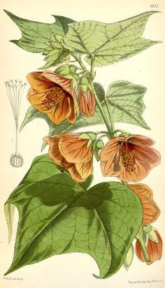 Abutilon darwinii. Curtis's botanical magazine v.97 [ser.3:v.27] (1871)  London ;New York [etc.] :Academic Press [etc.]  Biodiversitylibrary. Biodivlibrary. BHL. Biodiversity Heritage Library