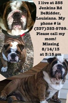 Bulldog Missing Please Share/Repin/Retweet!