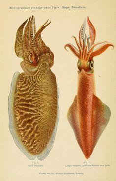 Cuttlefish and squid (Sepia officinalis and Loligo vulgaris) from Tintenfische; mit besonderer Berücksichtigung von Sepia und Octopus by Dr. Werner Th. Meyer, 1913