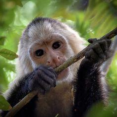 White-headed Capuchin Monkey  by Josh Uns - Photo 139125813 / 500px