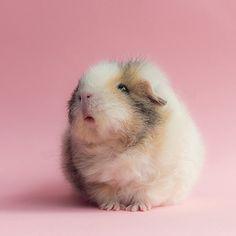 The Guinea Pig Daily: Teddy