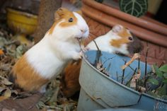 Brothers - The Daily Guinea Pig