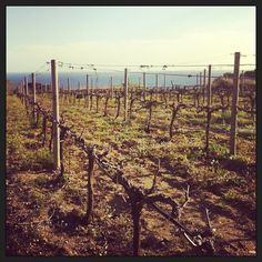 Teià #vineyards. DO #Alella. #spanishwine