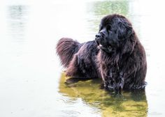 Essence of a Newfoundland in her element.