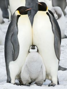 Penguins in Antarctica: photographs by David C Schultz