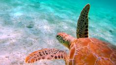 Snorkeling with Turtles in the Trippy Tobago Cays  #Grenadines #travel #caribbean