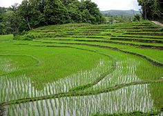Economics: This is a rice field in Thailand. They are the largest exporters in rice in the world. They export over 105 billion dollars of rice annually.
