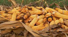 Makki Ki Roti/Punjab Corn Bread...so simple!!