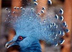 Victoria crown pigeon.  Bright blue, 2 ft tall, not your standard street bird.