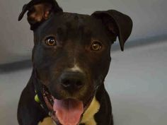 SAFE 7-15-2015 --- Manhattan Center BERNARD – A1042525  MALE, BLACK / WHITE, STAFFORDSHIRE, 1 yr STRAY – STRAY WAIT, NO HOLD Reason STRAY Intake condition EXAM REQ Intake Date 07/02/2015,