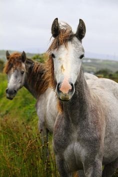 Irish horses   Frizzy hair, don't care. There beautiful horses were photographed on a road in Ireland.