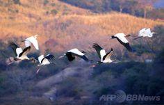エルサルバドル・アサクアルパ(Azacualpa)にある湖の上を飛ぶシロトキ(white ibis)とユキコサギ(snowy egret、2010年2月6日撮影、資料写真)。(c)AFP/Jose CABEZAS ▼17Jan2014AFP|トキの「精密な」V字型飛行を解明、国際研究 http://www.afpbb.com/articles/-/3006695 #Azacualpa #whiteibis #snowyegret #ElSalvador