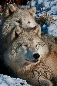Wolf Couple::Wolves Mate for Life.. .