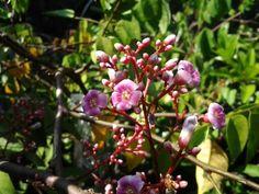 starfruit flower! All Plants, Flowers, Florals, Flower, Blossoms