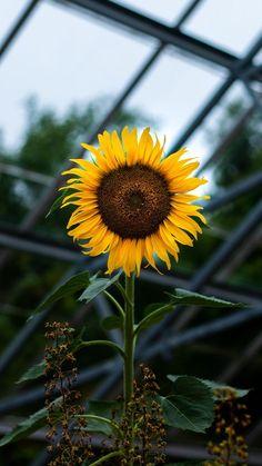 Sunflower wallpaper iphone x Sunflower Garden, Sunflower Art, Sunflower Fields, Sunflowers Background, Sunflowers And Daisies, Tumblr Wallpaper, Wallpaper Backgrounds, Apple Wallpaper, Trendy Wallpaper