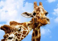 The giraffe (Giraffa camelopardalis) is an African even-toed ungulate mammal, the tallest living terrestrial animal and the largest ruminant. It stands 5–6 m (16–20 ft) tall and has an average weight of 1,600 kg (3,500 lb) for males and 830 kg (1,800 lb) for females.