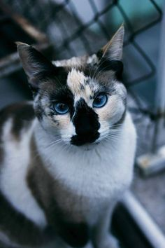 Beautiful unusual facial Colors and markings for a calico. Blue eyes even more extraordinary!