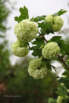Snowball Viburnums - Love the pale green when they first bloom*