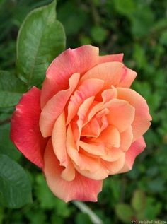Autumn - HT, orange blend, 20-25 petals, 1928, rated 5.1 (not recommended) by ARS.