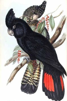 Red-tailed Black Cockatoo by John Gould