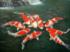 A gathering of the Koi...I wonder what they are talking about?