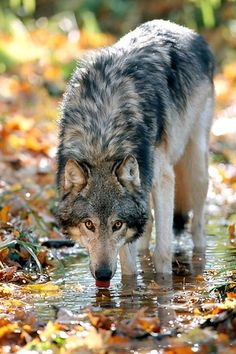 Gray wolf: STOP KILLING WOLVES !