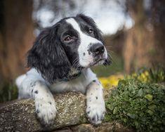 Working spaniel puppy,