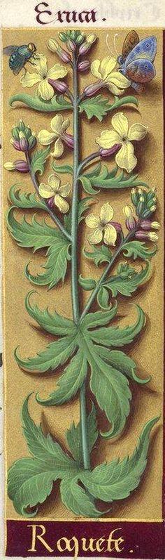 Roquete - Eruca (Eruca sativa Lam. = roquette) -- Grandes Heures d'Anne de Bretagne, BNF, Ms Latin 9474, 1503-1508, f°217r