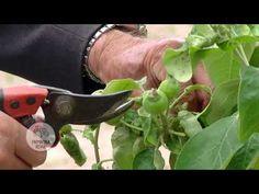 Pruning Shears, Pesto, Garden Tools, Vegetables, Youtube, Gardening, Gardening Scissors, Yard Tools, Lawn And Garden