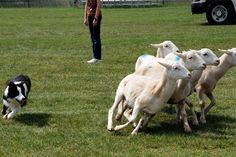 Herding. www.doggifit.com