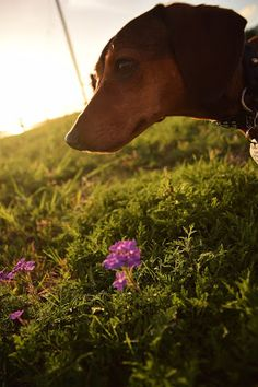 Dachshund Nola: Wordless Wednesday: The Little Things