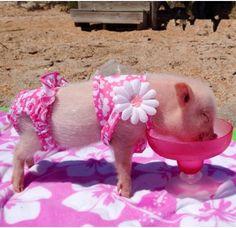 Little piggy in bikini. Too cute