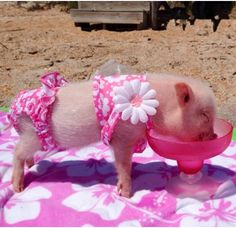 Little piggy in bikini. Too cute