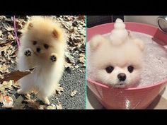 Everything About Pomeranians Personality #pomeraniandachshundmix #pomeranianoftheday #pomeranianpuppy Cute Puppy Videos, Funny Dog Videos, Funny Dogs, Cute Dogs, Mini Pomeranian, Save A Dog, Dachshund Mix, Aggressive Dog, Lap Dogs