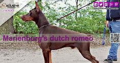 The Exclusive Dobermann beauty fashion contest 2018 ended last of December Marienburg's Dutch Romeo from NETHERLANDS with total votes 1373 position n. Fashion Models, Fashion Beauty, Beauty Contest, Fashion Advertising, Doberman, Netherlands, Dutch, Milan, Competition