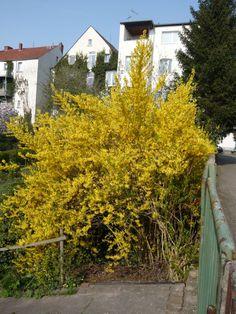 12: Forsythia intermedia 'Spectabilis' / Forsythie 'Spectabilis' / Goldglöckchen 'Spectabilis' – sowohl als Solitär oder auch als Hecke ein toller Farbtupfer im Garten
