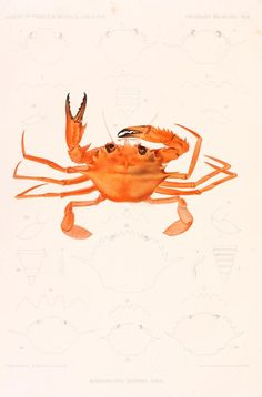 68 Crustaceans Natural History Illustrations Ideas Natural History Crustaceans History