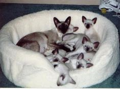 Baby Siamese Cats - 34 Pictures More